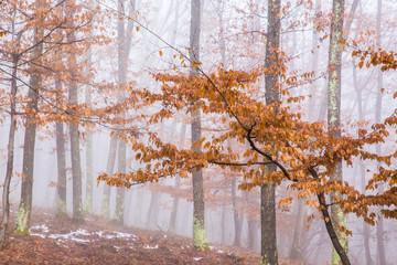 FototapetaMisty forest with dense fog.