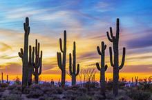 Stand Of Saguaro Cactus With V...