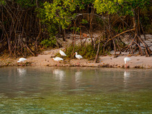 Ibis And A Snowy Egret Feeding In The Mangroves