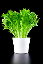 Fresh Leaves Of Potted Salanova Salad Isolated On A Black Background