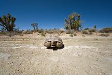 A Desert Tortoise In The California Mojave Desert