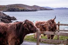Highland Coos, Outer Hebrides