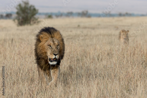 LION FOUND IN THE TANZANIAN NATIONAL PARKS Canvas Print