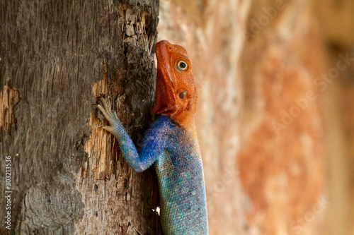 Colorful Agama portrait, Tsavo East, Kenya Canvas Print