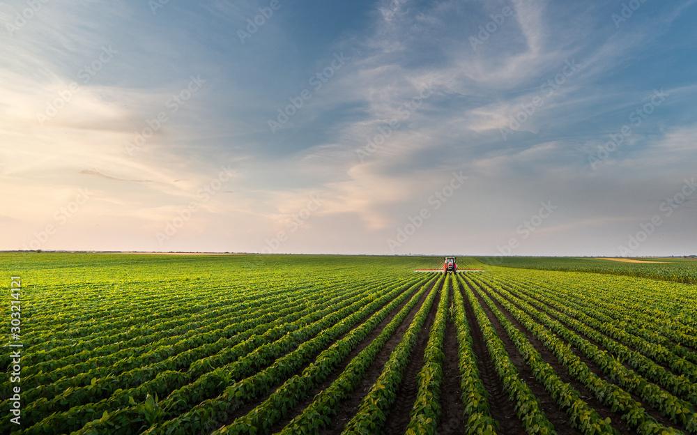 Fototapeta Tractor spraying soybean field in sunset.