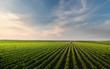 Leinwandbild Motiv Tractor spraying soybean field in sunset.