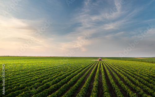 Fototapeta Tractor spraying soybean field in sunset. obraz