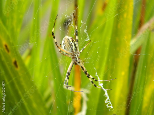 Araignée sur a toile (Argiope bruennichi) Canvas Print