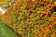 Hornbeam Hedge In Autumn, Carp...