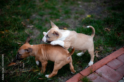 Papel de parede puppies of miniature bull terriers for a walk