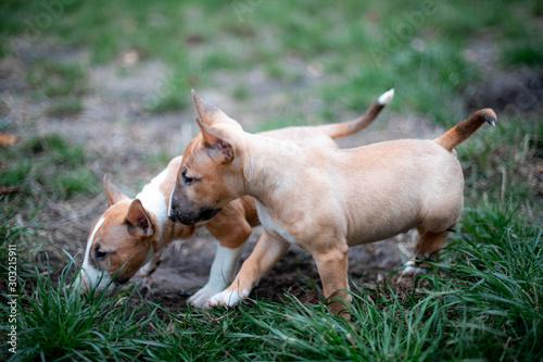 Fotografia puppies of miniature bull terriers for a walk