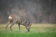 Roebuck - Buck (Capreolus Capr...