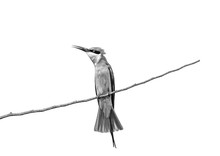 Bee-eater On A Twig. Very Graphic Birds And Clean Background. Black And White. Sri Lanka. Yala National Park