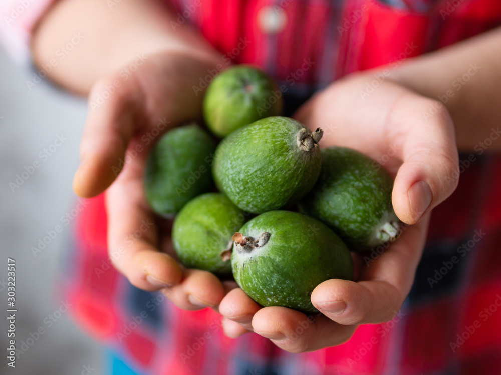 Fototapety, obrazy: Man in tartan plaid shirt holds feijoa or pineapple guava and guavasteen, also known as Acca sellowiana. Exotic fruit harvest.