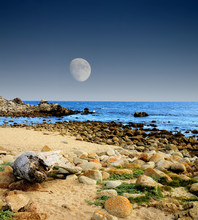 Moon Setting Asilomar State Ma...