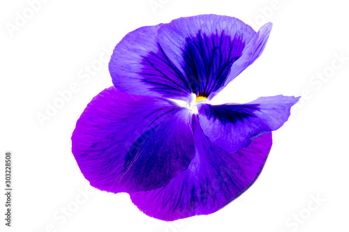 Papiers peints Pansies purple pansy flower on white background