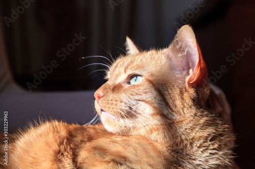 Orange domestic cat relaxes in the sun on a chair