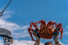 King Crab On Blue Sky Background. Hands Are Holding A Huge Crab. Fresh Catch On A Fishing Boat. Bering Sea Animal. Very Tasty And Healthy Meat.
