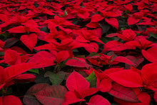 Red Poinsettia Background
