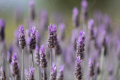 Spoed Fotobehang Lavendel Flore 03