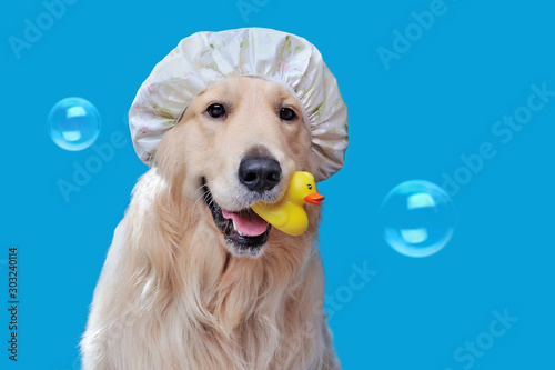 Pretty retriever wearing shower hat while bathing Tableau sur Toile