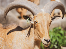 Barbary Sheep Close Up Looking...