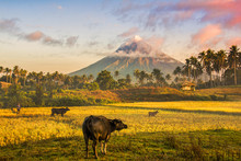 Mayon Volcano In The Front Of ...