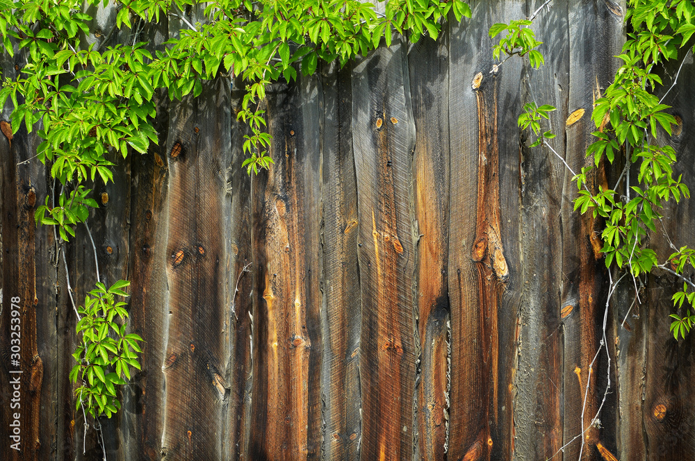 Fototapety, obrazy: Green vine on old wooden surface