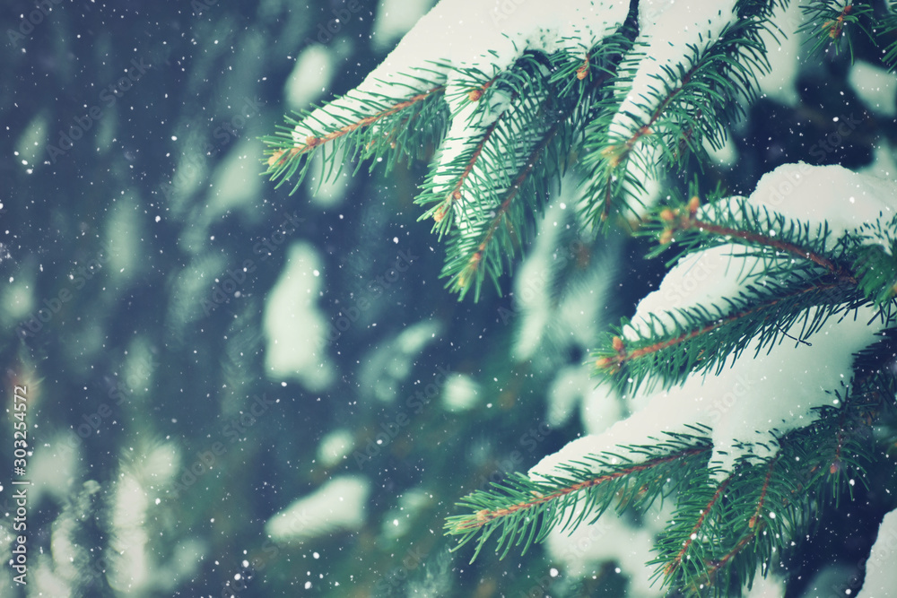 Fototapety, obrazy: Winter Evergreen Christmas Tree Pine Branches With Snow and Snowflakes