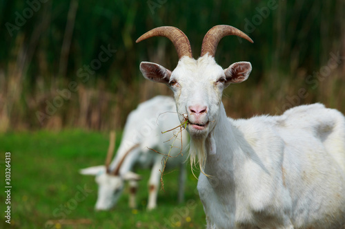 Photo Portrait of goat