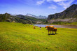 canvas print picture mountains landscape with lake and cows.