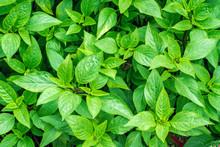 Close Up Of Fresh Sweet Basil Plant Growing At An Organic Vegetable Garden