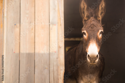 Photo Donkey sticking out of the barn. Space for writing