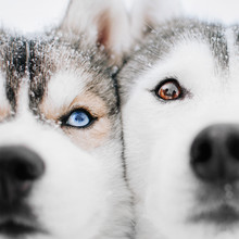Two Siberian Husky Dogs Posing...