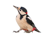 Male Great Spotted Woodpecker ...