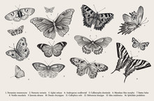 Butterflies. Set Of Elements For Design. Vector Vintage Classic Illustration. Black And White