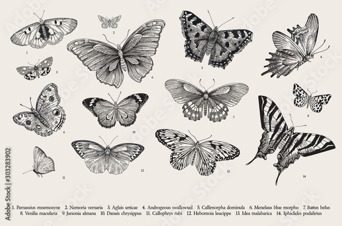 Butterflies. Set of elements for design. Vector vintage classic illustration. Black and white - 303283902