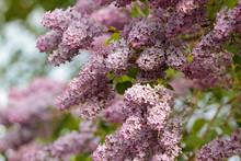 Beautiful Lilac Syringa Flowering In Sunny . Syringa Is In Full Bloom