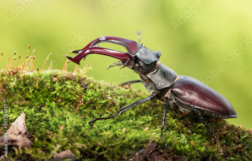 Foto Big beetle with red mandibles