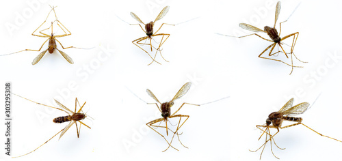 Dead mosquitoes isolate closeup white background Wallpaper Mural