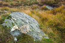 Sheep Skeleton On Mountain Top Rock In Lake District
