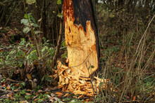 Work Of A Beaver In Forest - A...