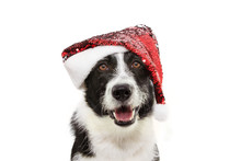Border Collie Dog Celebrating Christmas Holidays Wearing A Red Santa Claus Hat. Isolated On White Background
