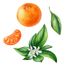Watercolor Painting Of Tangerine Fruit On White Background