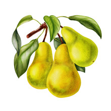 Pear Fruits Realistic Botanica...
