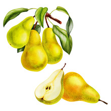 Pear Fruits Realistic Botanical Watercolor Illustration With Tree Branch Leaves. Ripe Juicy Isolated Hand Painted