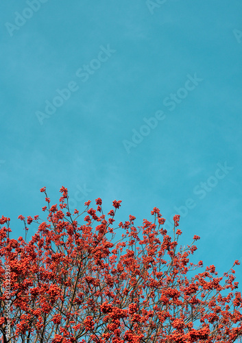 Photo Bright background. Red Rowan berries against the blue sky.