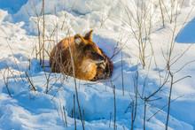 Fluffy Redhead Fox Resting In ...