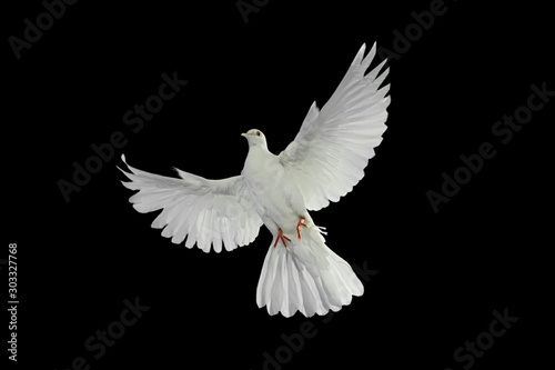Leinwandbilder - White dove flying on black background and Clipping path .freedom concept and international day of peace