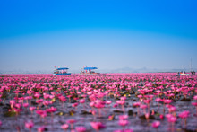 Tourist Boat On The Lake River With Red Lotus Lily Field Pink Flower On The Water Nature Landscape In The Morning Landmark In Udon Thani